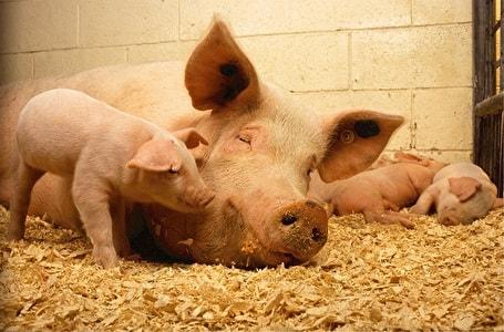 可愛い豚の親子
